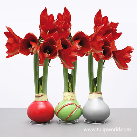 Wax Amaryllis Holiday Collection (3-Pack)