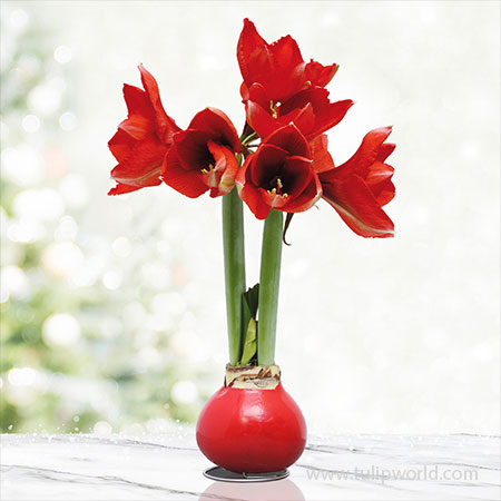 Red Base Waxed Amaryllis - 42131