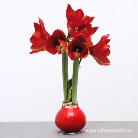Wax Amaryllis Red Base - 42131