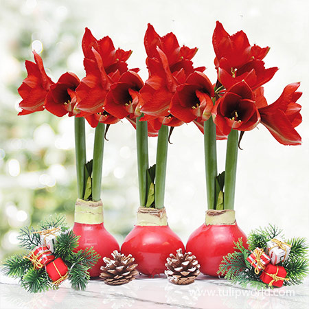 Red Waxed Amaryllis Collection (3-Pack) Red Waxed Amaryllis Collection, 3-Pack Amaryllis Flower Bulbs, Unique Holiday Gift, No Watering Required