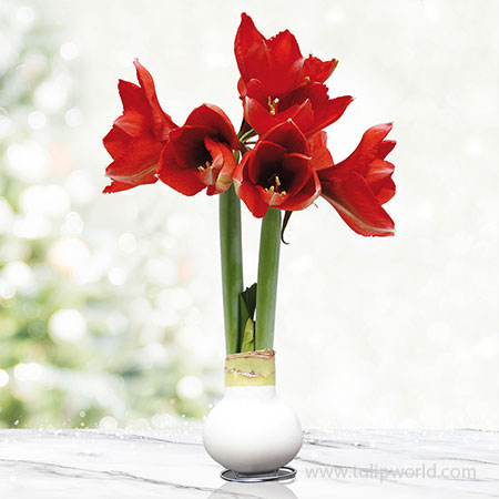 White Base Waxed Amaryllis