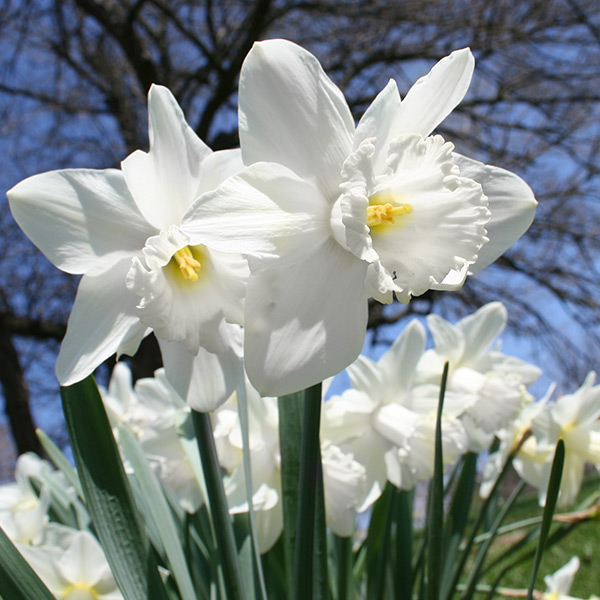 White Daffodil Mount Hood 100 bulbs - 32102