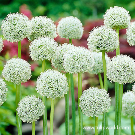 White Giant Allium
