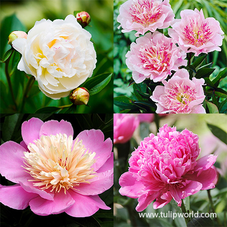 White and Pink Peony Collection peonies season, peony online, best place to buy peonies, planting bare root peonies, peonies for sale, peony bulbs for sale, peonies for delivery,