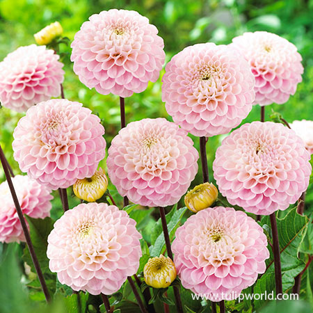 Wizard of Oz Dahlia wizard of oz dahlia, pink dahlia, cafe au lait dahlia, types of dahlias, pompon dahlia, pom pom dahlia tubers, swan island dahlias, cut flowers, dahlia tubers, wizard of oz