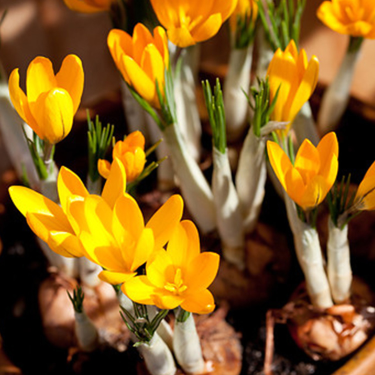 Yellow Mammoth Crocus - 33108