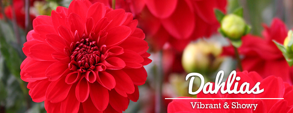 Shop Dahlia Bulbs