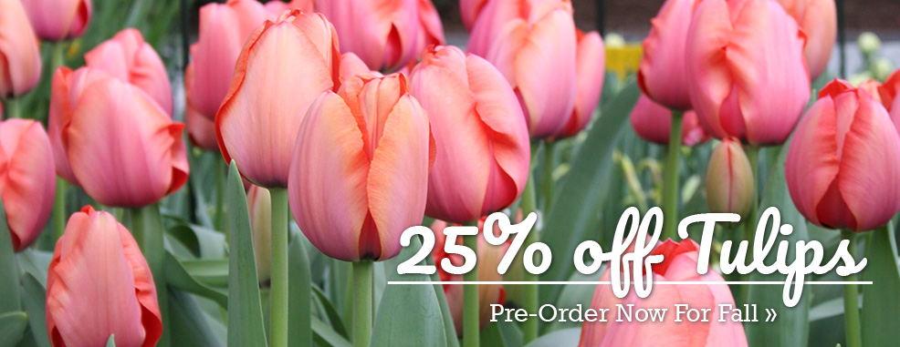 25% OFF All Tulips