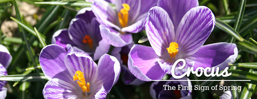 Shop Crocus Bulbs