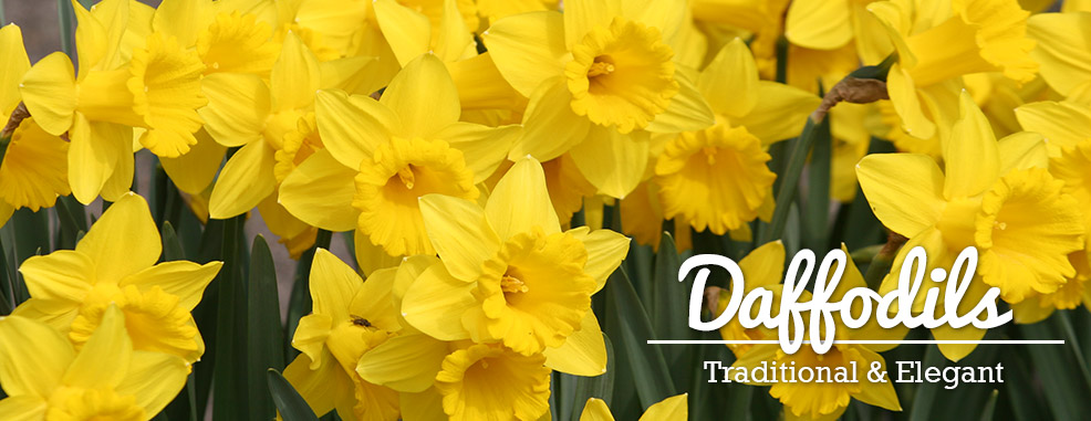 Shop Daffodil Bulbs
