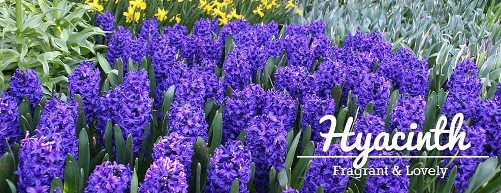 Shop Hyacinth Bulbs