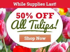50% OFF ALL Tulips!
