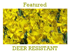 Deer Resistant Fall Bulbs