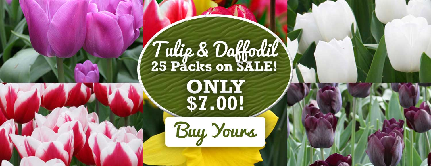 25 Tulips or Daffodils for $7 - Limited Time!