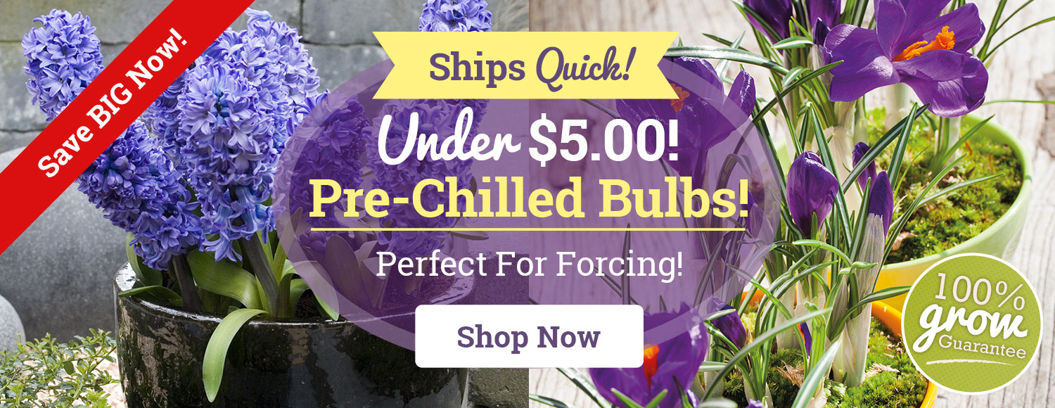 Under $5 For Pre-Chilled Bulbs!