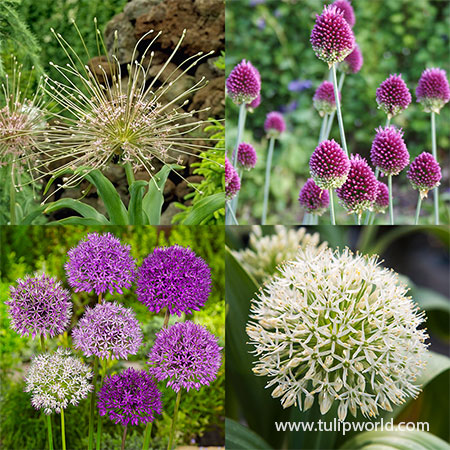 All Allium Collection allium bulbs, allium collections, flowering onion bulbs, fall planted bulbs, allium bulbs for fall planting