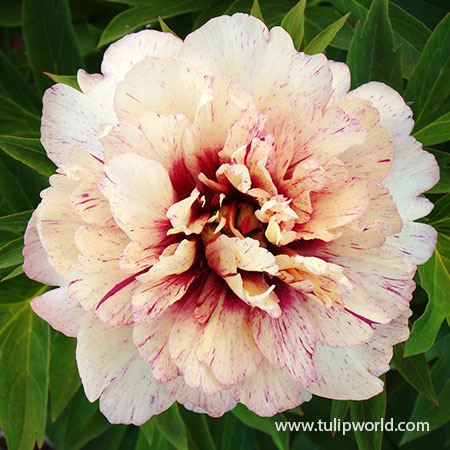 All That Jazz Itoh Hybrid Peony itoh hybrids, all that jazz peony, peony all that jazz, itoh peonies, itoh peony care, best price on peonies, monrovia,