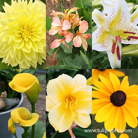 All Yellow Summer Collection  popular yellow flowers, yellow blooming flowers, all yellow summer blooming flowers, yellow daylilies, black eyed susans