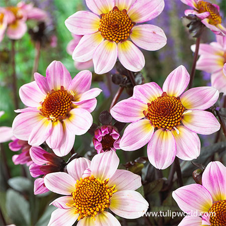 American Pie Dahlia american pie dahlia. border dahlias, dahlias for pots, dahlias for containers, best place to buy dahlia tubers, best dahlia tubers to grow, flowers that bloom all summer