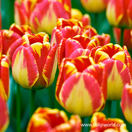 Banja Luka Darwin Hybrid Tulip Pre-Chilled banja luka darwin hybrid tulip, pre-chilled tulip bulbs, bulbs for growing indoors, bulbs for growing in pots, bulbs for growing in vases