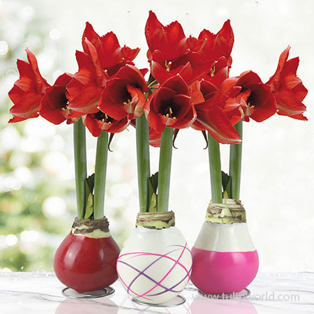 Be My Valentine Waxed Amaryllis Collection (3-pack) Be My Valentine Waxed Amaryllis Collection, Amaryllis Bulbs 3-Pack, Hand-Dipped in Wax, Unique Gifts, Easy To Grow