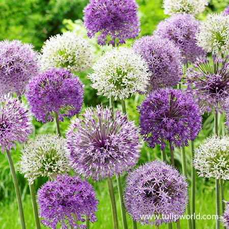 Big Impact Allium Mix