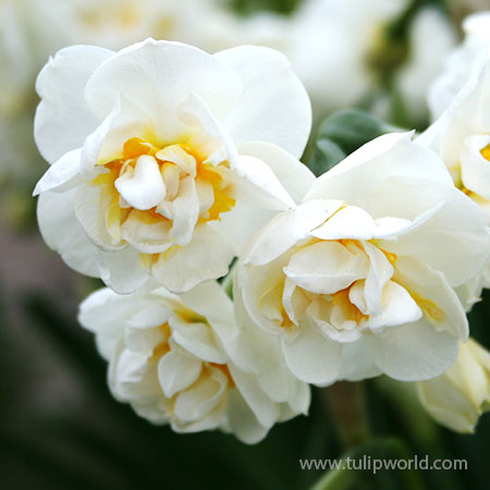 Bridal Crown Daffodil Pre-Chilled