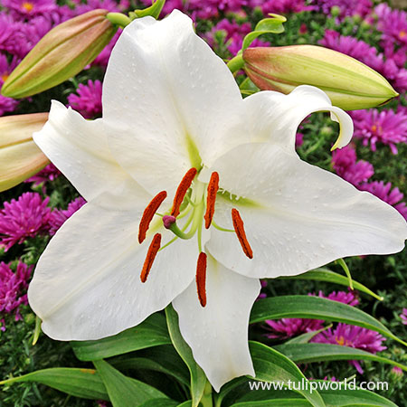 Casablanca Oriental Lily white lily bulbs, casablanca oriental lily bulbs, lilium casa blanca, white lilium, oriental lily, casablanca lily price, fragrant flowers