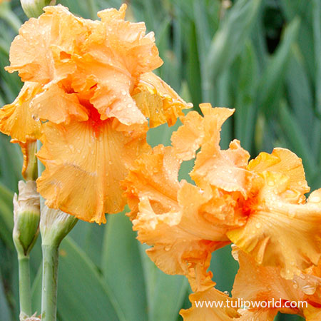 China Moon Bearded Iris - 35132