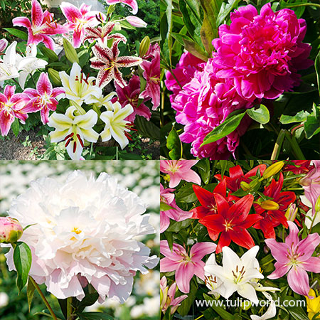 Classic Lily & Peony Collection Peonies for fall planting, lilies for fall planted, stargazer lilies, oriental lilies, asiatic lilies, fragrant lilies, planting peonies in fall, planting lilies in fall