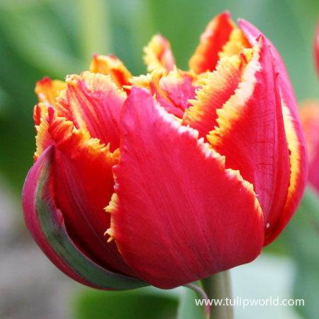 Crystal Beauty Fringed Double Tulip crystal beauty tulip, orange tulips, red tulips, tulip bulbs for sale, wholesale tulips, fringed tulips, unique tulips