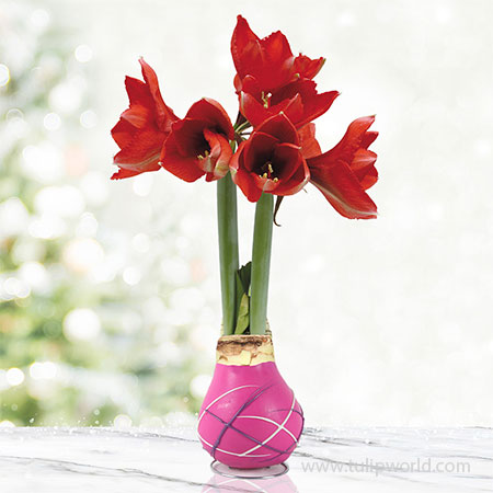 Cupids Arrow Picasso Waxed Amaryllis