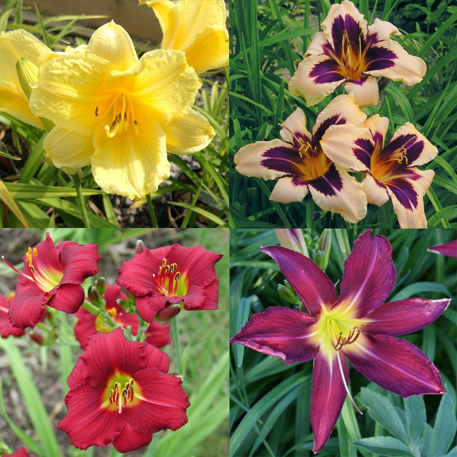 Dazzling Daylily Collection