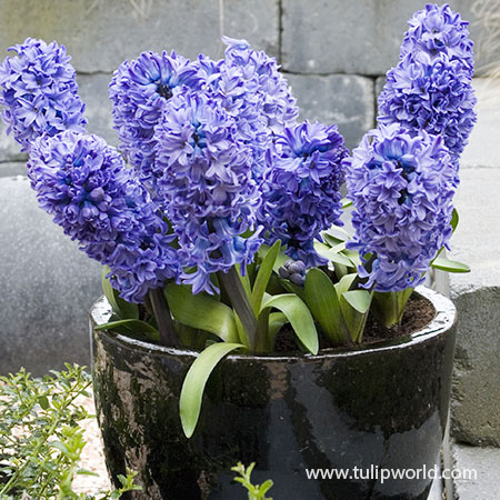 Delft Blue Hyacinths Pre-Chilled forced hyacinth bulbs for sale, pre-chilled bulbs for sale, pre chilled bulbs, where to buy pre chilled bulbs, where to buy pre-chilled bulbs