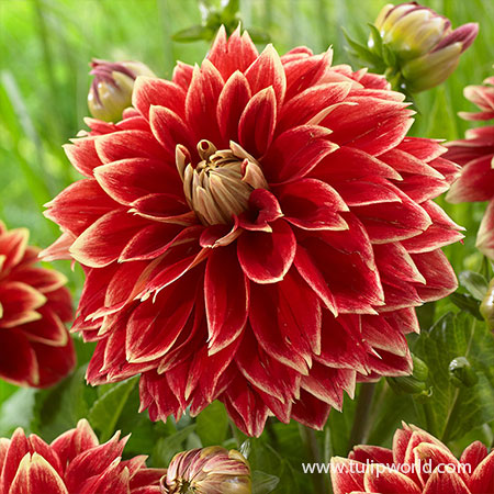 Dutch Carnival Dahlia dahlias for sale, buy dahlias online, dahlia tubers for sale, wholesale dahlia tubers, best place to buy dahlias, miss brandy dahlia
