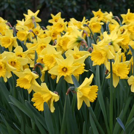 Dutch Master Daffodils Pre-Chilled where can I buy pre-chilled bulbs, where to buy daffodils, buy daffodil bulbs, flower bulbs for the south,