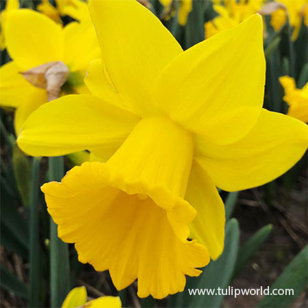 Dutch Master Yellow Daffodil Value Pack - 32167