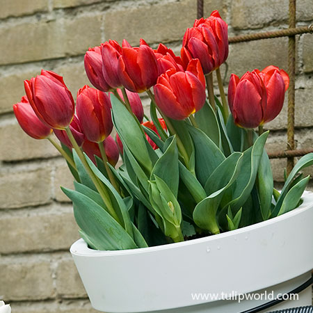 Escape Triumph Tulip Pre-Chilled pre-chilled bulbs, bulbs for growing tulips indoors, growing bulbs indoors, forcing tulips in water, growing tulips in a vase with water