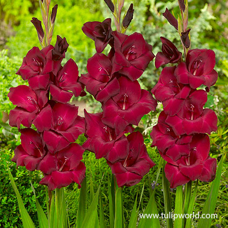 Espresso Large Flowering Gladiolus - 26120