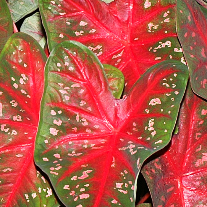 Fast Flash Caladium