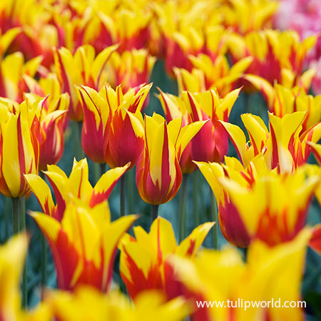 Fire Wings Tulip - 38375