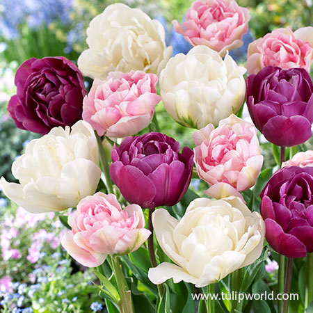 Florists Treat Tulip Blend - 38377