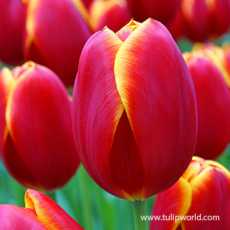 Flying Dragon Triumph Tulip