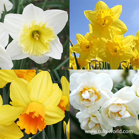 Forced Bulbs Daffodil Collection daffodils for forcing, daffodil bulbs for forcing, pre-chilled bulbs for forcing, bulbs for indoor gardening, best bulbs for forcing
