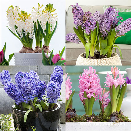 Forced Bulbs Hyacinth Collection pre-chilled bulbs, bulbs for forcing, hyacinths bulbs for forcing, flower bulbs for forcing, tulip bulbs for forcing,