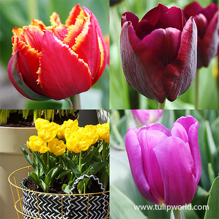Forced Bulbs Tulip Collection pre-chilled bulbs, pre-chilled tulips, tulip bulbs for forcing, spring bulbs for forcing, best bulbs for forcing, how to force bulbs, how to force tulips
