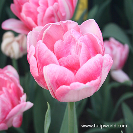 Foxtrot Double Early Tulip