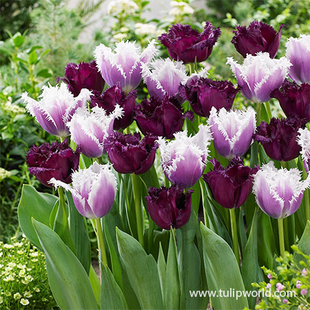 Frilly Purple Tulip Blend Fringed tulips, purple fringed tulips, fringed tulips mix, fancy tulips, bulk tulips, wholesale tulips