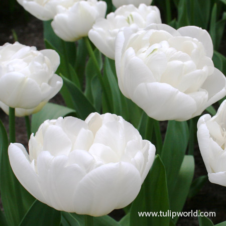 Global Desire Double Early Tulip - 39144