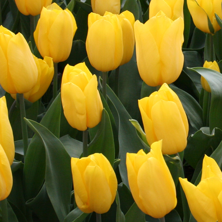 Golden Parade Pre-Chilled Tulip Bulbs tulips for forcing, growing tulips indoors, pre-chilled tulips, yellow tulips, tulips for vases, bulbs for growing indoors, bulbs for warm climates